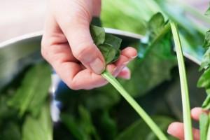 Die frischen Spinatblätter werden mit den Fingern von den Stielen gezupft.